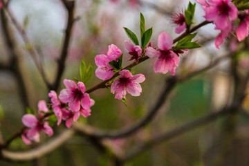 Close up of a apples pink in a garden. Spring Time.