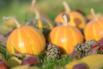 puffed up pumpkin among cones and chestnuts