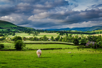 Sheeps grazing on pasture in England, Europe