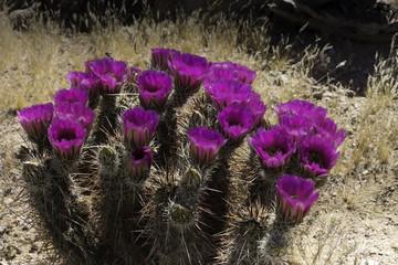 Purple Cactus flowers bloom in the Arizona desert