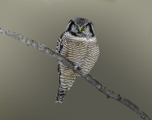 Northern Hawk Owl Portrait in Winter