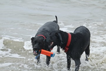two black dogs playing in the ocean