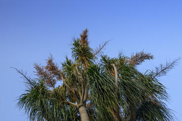 Flower of the ponytail palm ,Beaucarnea recurvata or Nolina recurvate
