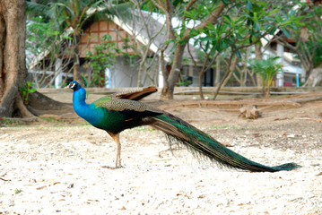 Peacock at home background