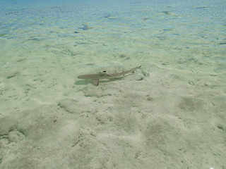 Juvenile shark at turquoise lagoon