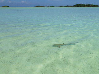 Shark at turquoise lagoon