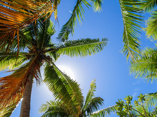 Closeup coconut tree