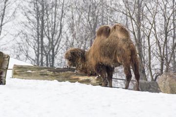 Camel two-birch truncated tree trunk.