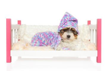 Biewer York puppy lying in bed