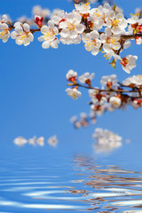 Spring beauty. Blooming Flowers of trees on the blue sky background and water