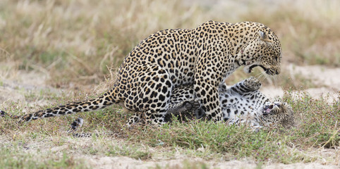Female leopard slaps male while mating on grass in nature