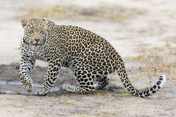 Leopard drinking water from small pool after hunting