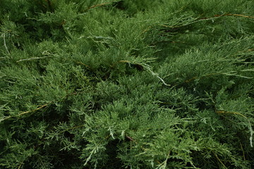Cedar Thuja Background