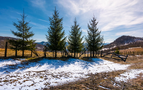 four spruce trees near the fence in mountains. beautiful springtime scenery with melting snow on weathered grass