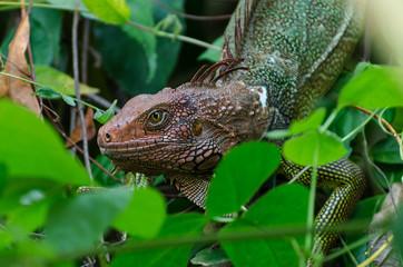 Kopf eines Leguans zwischen grünen Blättern