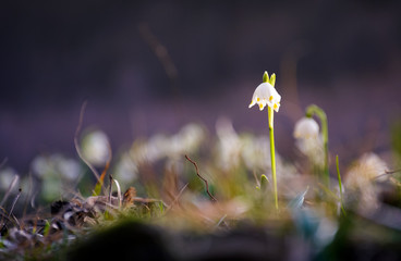 first flowers in springtime. spring snowflake also called Leucojum, alone on a blurred background of forest meadow in sunlight. snowbell closeup.