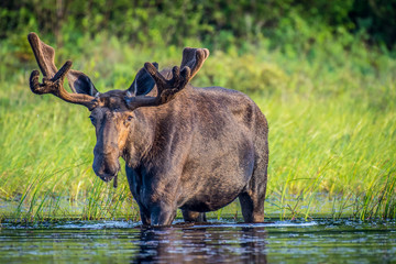 A large bull moose walking along the shore of the lake.