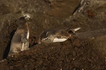 Galapagos penguin (Spheniscus mendiculus) on lava rock, Elizabeth Bay, Isabela, Galapagos Islands, Ecuador