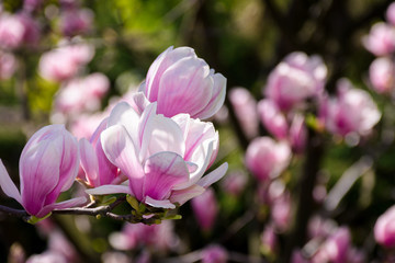 gorgeous magnolia flowers on a dark background. lovely springtime scenery in the park