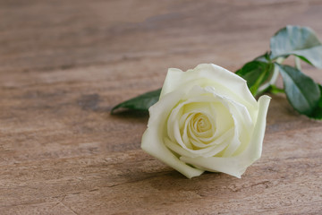 Beautiful sweet white rose on wood table with copy space in close up view. Romantic gift or present on Valentine's day for lovers. White rose is the symbol of true love or pure love and gentle care.