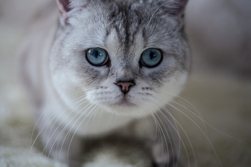 Cat Scottish Fold, chinchilla coloring