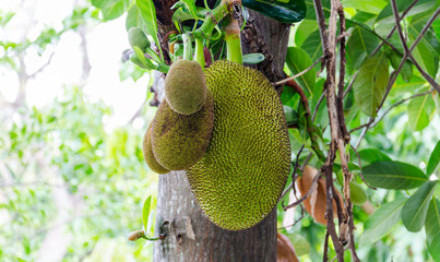 Jackfruit is growing ready to harvest