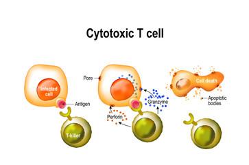 Cytotoxic T cell
