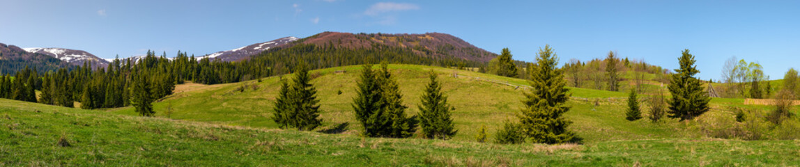 panorama of mountainous landscape in springtime. lovely scenery with spruce forest on grassy slopes. mountain ridge with snowy tops in the distance