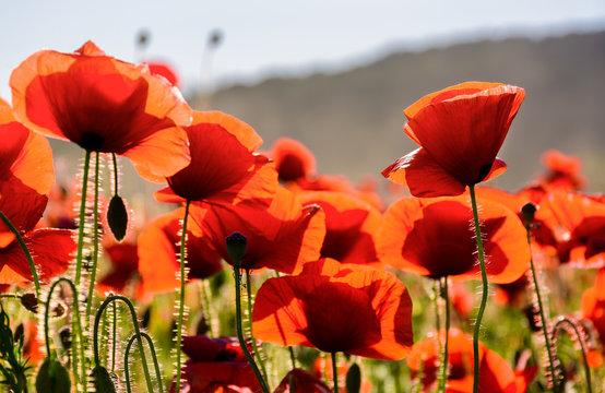 poppy flowers field. beautiful summer background