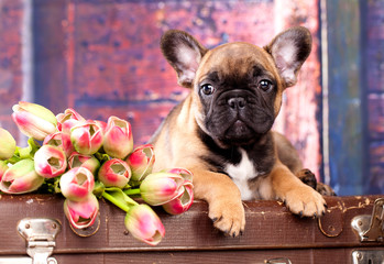 puppy of a French bulldog and flowers of a tulip