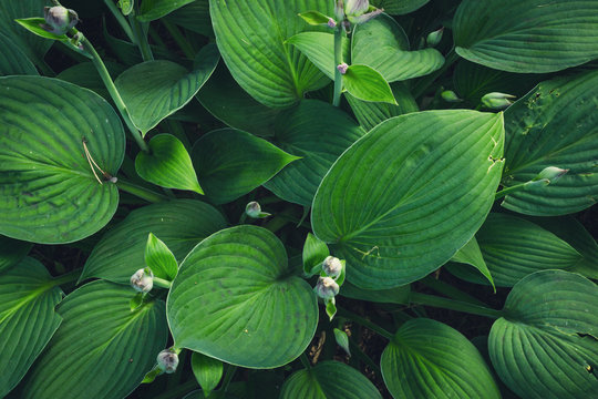 Green nature leaf texture. Leaves Hosta plant background
