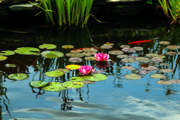 Pink lily pads in pond