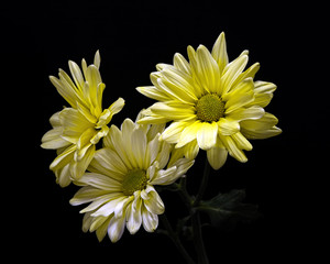 Yellow Daisy Trio 0309