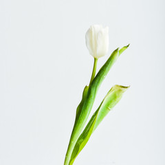 Floral Background, postcard: Tulip flower in white vase on white background. Layout, mocap, for your text mother's day, copyspace.
