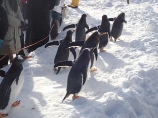 Penguins walk in winter