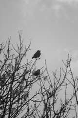 Raven (Corvus corax) sitting on a tree branch. Black and white picture. A bird heralding impending death