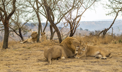 Lions Relaxing in Midday Heat