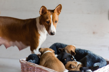 Mother basenji with her sleeping puppies