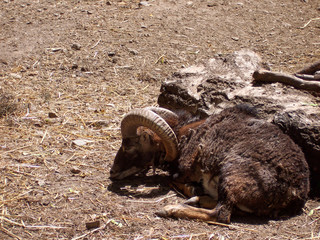 Old ram is resting