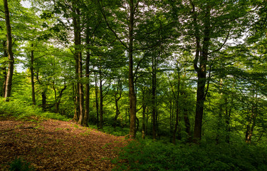 meadow in ancient beech forest. lovely nature scenery in Carpathian woods