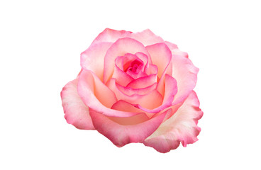 pink rose isolated