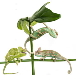 Fototapete - three little chameleons - Chamaeleo calyptratus on white