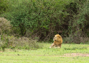 Male lion resting in the Serengeti