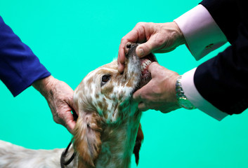 An English Setter is judged during the final day of the Crufts Dog Show in Birmingham