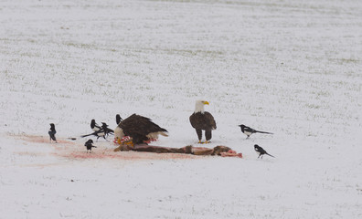American Bald Eagles feeding on the carcass of a dead deer