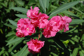 Oleander pink flowers