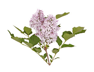 Stem with light purple lilac flowers isolated against white