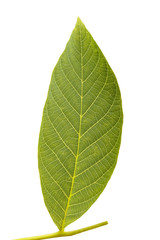 walnut leaf on white background
