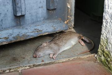tote braune Ratte in einem Schuppen