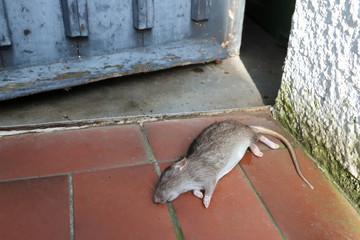 tote wilde Ratte vor einer Schuppentür